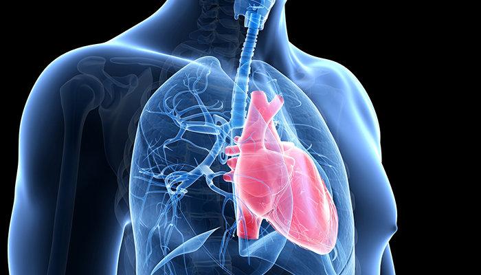 Сердце в грудной клетке