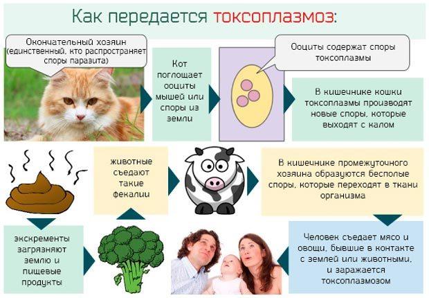 Токсоплазмоз: симптомы у человека, лечение и профилактика