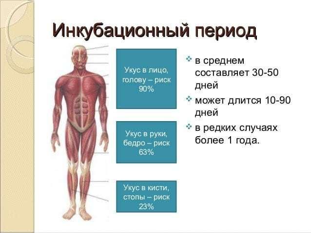 Бешенство: инкубационный период у человека, симптомы и диагностика